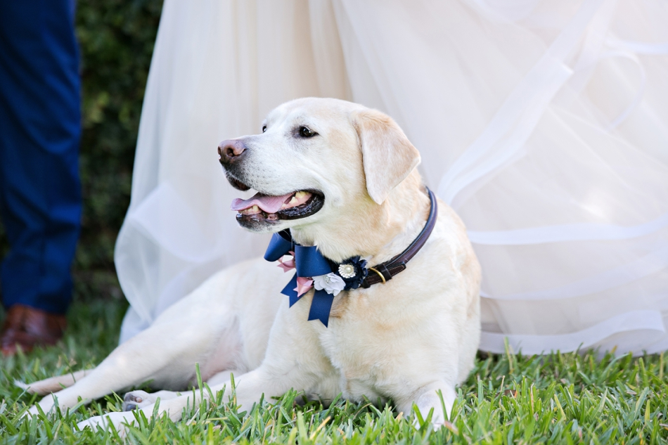 Good Labrador excited for wedding