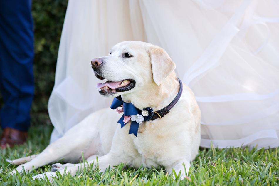 Good Labrador excited for wedding
